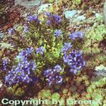 Sommerenzian - Gentiana septemfida