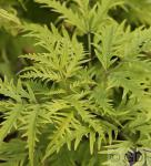 Schwarzer Holunder Golden Lace® 40-60cm - Sambucus nigra
