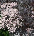 Schwarzer Holunder Black Lace® 80-100cm - Sambucus nigra
