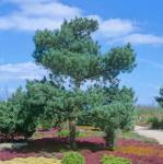 Gemeine Kiefer Glauca 100-125cm - Pinus sylvestris
