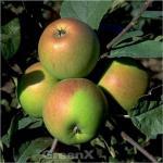 Apfelbaum Erwin Baur 60-80cm - fest und saftig