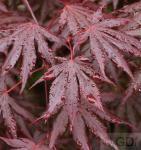 Fächer Ahorn Trompenburg 60-80cm - Acer palmatum