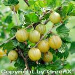 Stachelbeere weiß - Ribes uva-crispa