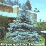 Silberfichte Blaufichte Hoopsii 60-70cm - Picea pungens
