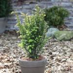 Eibe Kleiner Grüner® 15-20cm - Taxus baccata