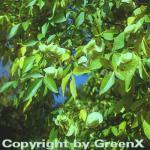 Kleeulme 100-125cm - Ptelea trifoliata