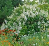 Rispenhortensie Silver Dollar 40-60cm - Hydrangea paniculata