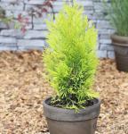 Gelber Lebensbaum 4ever Goldy 80-100cm - Thuja plicata