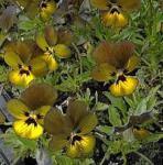 Hornveilchen Irish Molly - Viola cornuta