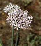 Zier Lauch - Allium nigrum