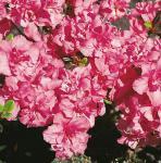 Japanische Azalee Rokoko 15-20cm - Rhododendron obtusum - Alpenrose