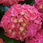 Bauernhortensie Everbloom Red Wonder® 30-40cm - Hydrangea macrophylla