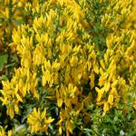 Färberginster Royal Gold 30-40cm - Genista tinctoria