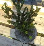 Zwerg Straucheibe Amersfoort 50-60cm - Taxus cuspidata