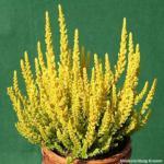 10x Knospenheide Gardengirls Zeta - Calluna vulgaris