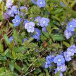 Ehrenpreis Georgia Blue - Veronica peduncularis