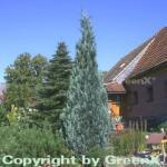Scheinzypresse Pelts Blue 80-100cm - Chamaecyparis lawsoniana