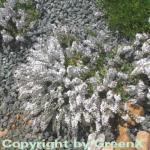 weißer niederliegender Garten Ehrenpreis - Veronica prostrata