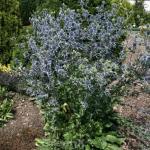 Blaue Edeldistel Blue Hobbit - Eryngium planum