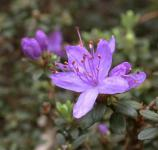 Zwerg Rhododendron Buchlovice 15-20cm - Rhododendron impeditum - Zwerg Alpenrose