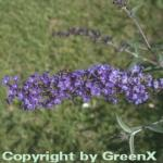 Schmetterlingsstrauch Sky Blue 30-40cm - Buddleja