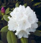 Rhododendron Schneekrone 20-25cm - Alpenrose