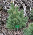 Die Zwergseidenkiefer Macopin 15-20cm - Pinus strobus