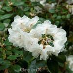 Rhododendron Gartendirektor Rieger 30-40cm - Rhododendron williamsianum