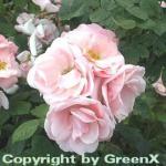 Strauchrose Astrid Lindgren® 30-60cm