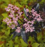 Schwarzer Holunder Black Beauty 80-100cm - Sambucus nigra