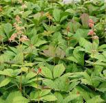 Holunderblättriges Schaublatt - Rodgersia sambucifolia
