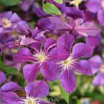 Waldrebe Star of India 60-80cm - Clematis