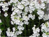 Alpenbalsam Albus - Erinus alpinus