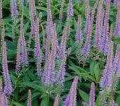 Virginischer Riesen Ehrenpreis Fascination - Veronicastrum virginicum