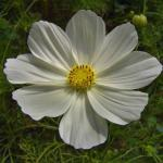 Schmuckkörbchen Sonata White - großer Topf - Cosmos bipinnatus