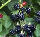 Brombeere Thornless Evergreen - Rubus fruticosus