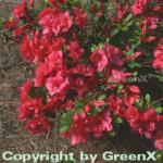 Japanische Azalee Muttertag 30-40cm - Rhododendron obtusum - Zwerg Alpenrose