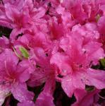Kriechende Immergrüne Zwerg Azalee Pirin 30-40cm - Rhododendron nakaharai