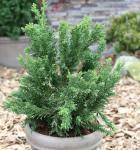Scheinzypresse Drath 30-40cm - Chamaecyparis obtusa