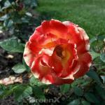 Delbard Rose Solei du Monde® 30-60cm