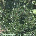Stechpalme Ilex männlich Blue Prince 60-80cm - ilex meserveae