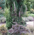 Traubensilberkerze Brunette - Cimicifuga ramosa