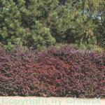 Rote Heckenbeberitze 60-80cm - Berberis thunbergii Atropurpurea