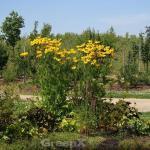 Fallschirm Rudbeckia Juligold - Rudbeckia nitida