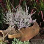 10x Besenheide Silver Knight - Calluna vulgaris
