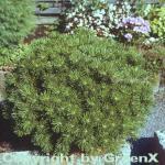 Kugelkiefer Mops 40-50cm - Pinus mugo