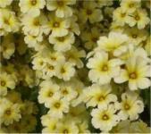 Große Binsenlilie Variegatum - Sisyrinchium striatum