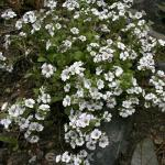 Himalaja Schleierkraut - großer Topf - Gypsophila cerastioides