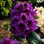 Großblumige Rhododendron Orakel 40-50cm - Alpenrose