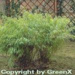 Gartenbambus Simba 60-80cm - Fargesia murielae